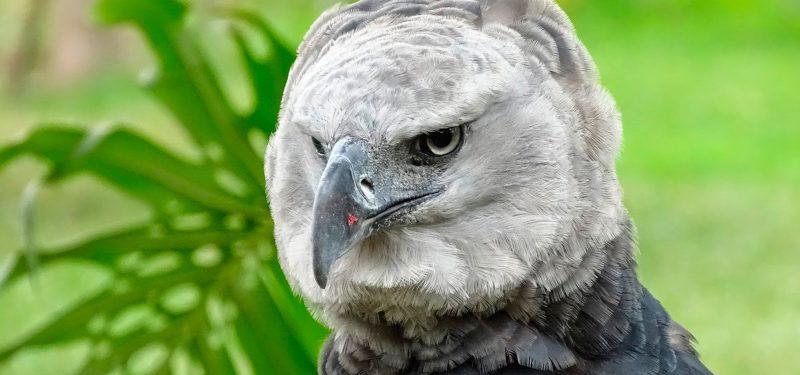 Águila Apía