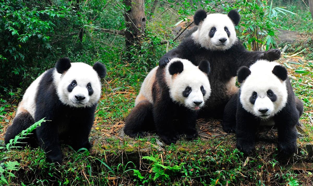 OSO PANDA: origen, características, alimentación, hábitat