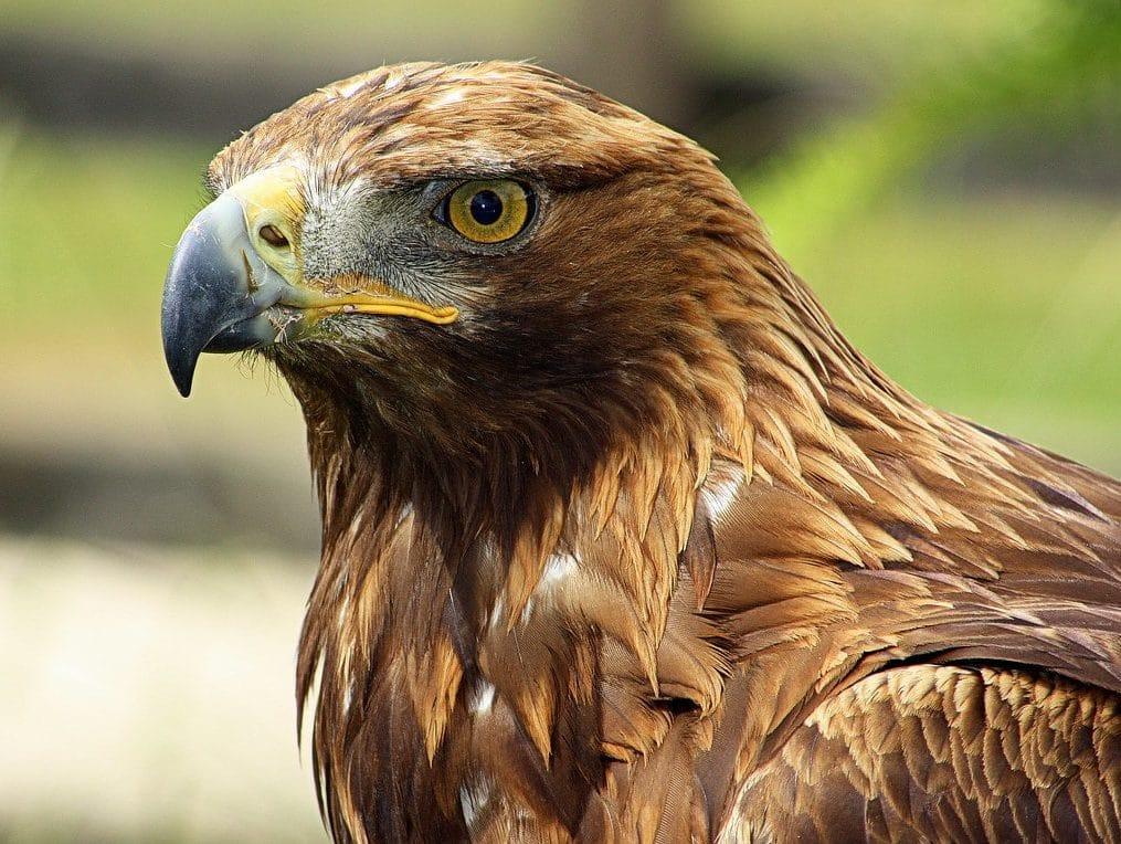 Águila Imperial 1