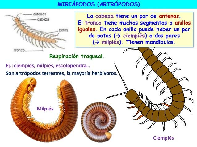 Miriápodos